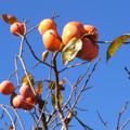 木の葉は大半が落葉し、枝も折れんばかりに熟した果実が実っています。お隣とお向かいの柿が熟していますが、どちらも食べる気配がありません。鳥さんもさすが...