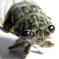 蝉は種によってだが、地下の暮らしがとても長く3年から16年程らしい。そして地上に出てきて脱皮し、成虫になってからの寿命は1週間から1ヶ月くらいでと言...