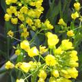 黄色い花は何でしょう?じつはコマツナの花なんです。根だけを植えたものが成長し葉は2回食べまして、いま花を楽しんでいます。キャベツも白菜も同じような黄...