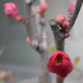 玄関先が寂しいので、昨年末に寒さに強い花を集めて寄せ植えを作ってみました。 シクラメン、カルーナ、ビオラ(ミニヨンとバニートランスブルー)で一鉢、ビ...