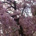 急な用事で都内へでていたので、その足で上野近辺までくると、公園入口の桜が咲いていました。 そういえば、31日付で東京で桜の開花宣言がありました。 平...