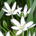 モッコウバラもうまくまとめることができました。花が終わったときには大胆にカットすることがポイントのようです。コデマリも枝がしなるほど満開。 ツリガネ...