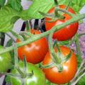 今年はより確実に収穫できる種に絞り込んでいる。 トマトが数種類とシシトウ、南蛮、バジル、ゴーヤ、茗荷は4年経っているので今年春先新規に植えた。ナス、...